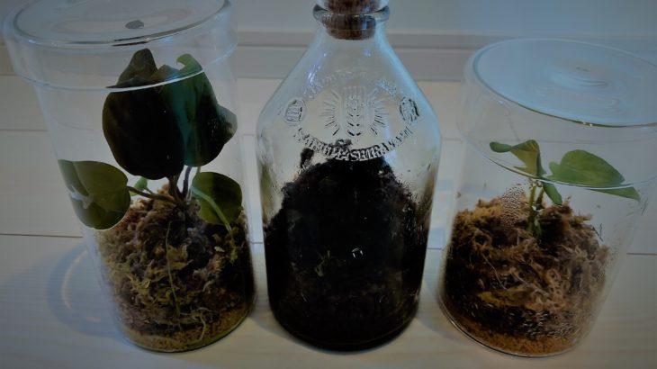 手軽に熱帯植物を管理する方法【アグラオネマ】【ホマロメナ】【ブセファランドラ】