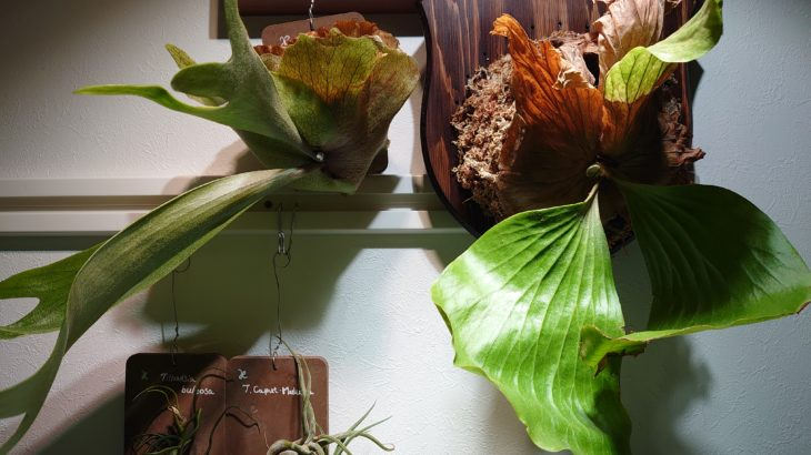 【板付け】植物をインテリアのように壁に飾る方法【ビカクシダ】【コウモリラン】